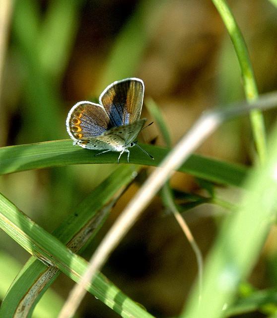 Butterfly , 6 Blue Karner Butterfly Pictures : Little Karner Blue Butterfly
