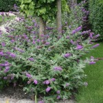 lo and behold blue chip dwarf butterfly bush , 6 Lo And Behold Blue Chip Butterfly Bush In Plants Category