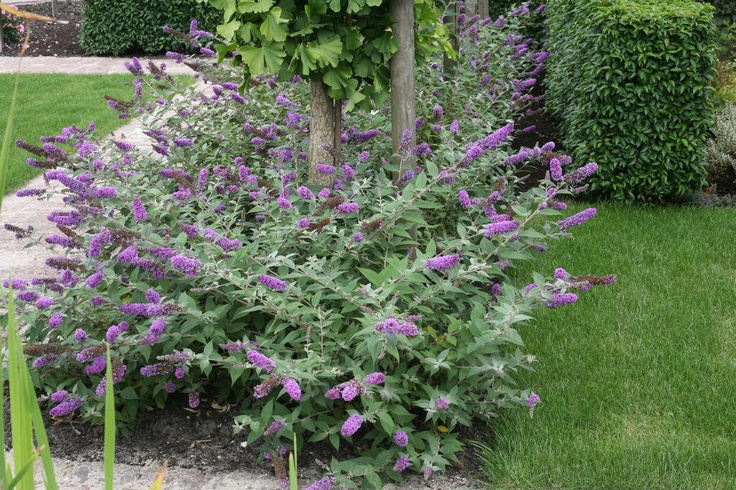 Lo And Behold Blue Chip Dwarf Butterfly Bush Biological