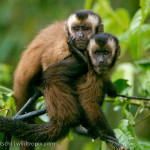 lowland tropical rainforest , 7 Pictures Of Tropical Rainforest Primates In Primates Category