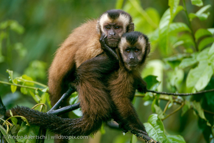Primates , 7 Pictures Of Tropical Rainforest Primates : Lowland Tropical Rainforest