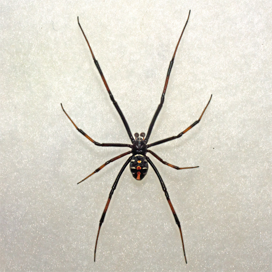 male black widow spider pic 1