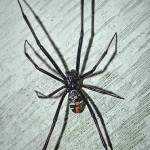 male black widow spider pic 2 , 6 Male Black Widow Spider Pictures In Spider Category