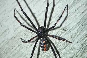 male black widow spider pic 2 in Butterfly