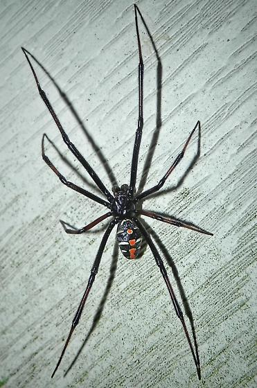 Spider , 6 Male Black Widow Spider Pictures : Male Black Widow Spider Pic 2