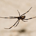male black widow spider pic 4 , 6 Male Black Widow Spider Pictures In Spider Category