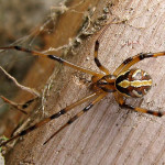 male black widow spider pic 5 , 6 Male Black Widow Spider Pictures In Spider Category