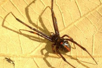 Male Black Widow Spider Pic 6 , 6 Male Black Widow Spider Pictures In Spider Category
