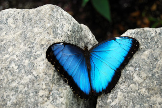 male blue morpho butterfly pic 1 in Primates