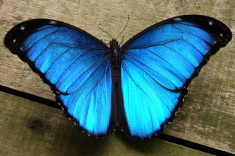 male blue morpho butterfly pic 2 in Spider