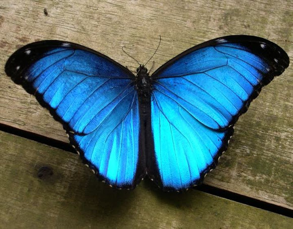 Butterfly , 7 Male Blue Morpho Butterfly Pictures : Male Blue Morpho Butterfly Pic 2