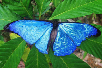 Male Blue Morpho Butterfly Pic 3 , 7 Male Blue Morpho Butterfly Pictures In Butterfly Category