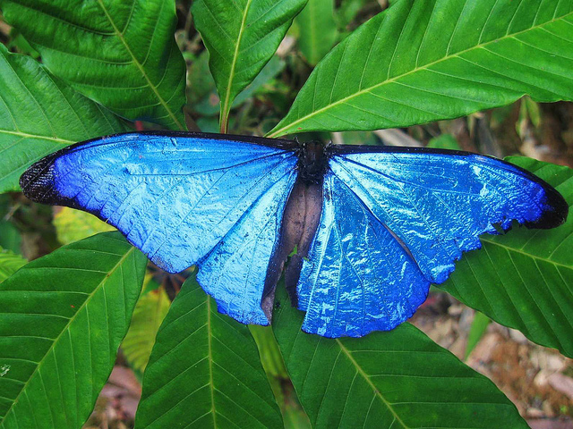 Butterfly , 7 Male Blue Morpho Butterfly Pictures : Male Blue Morpho Butterfly Pic 3