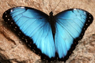 Male Blue Morpho Butterfly Pic 4 , 7 Male Blue Morpho Butterfly Pictures In Butterfly Category