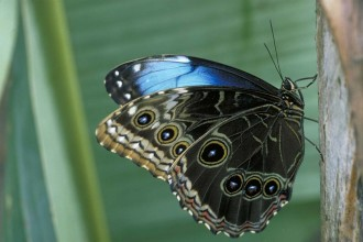 Male Blue Morpho Butterfly Pic 5 , 7 Male Blue Morpho Butterfly Pictures In Butterfly Category
