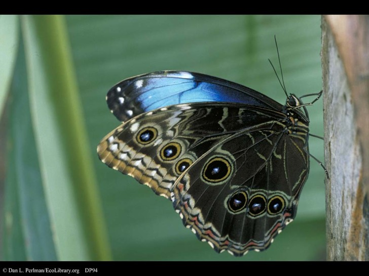 Butterfly , 7 Male Blue Morpho Butterfly Pictures : Male Blue Morpho Butterfly Pic 5