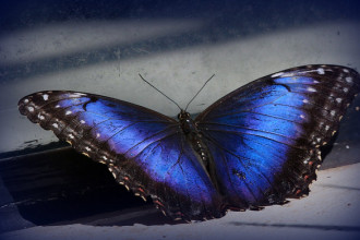 Male Blue Morpho Butterfly Pic 6 , 7 Male Blue Morpho Butterfly Pictures In Butterfly Category