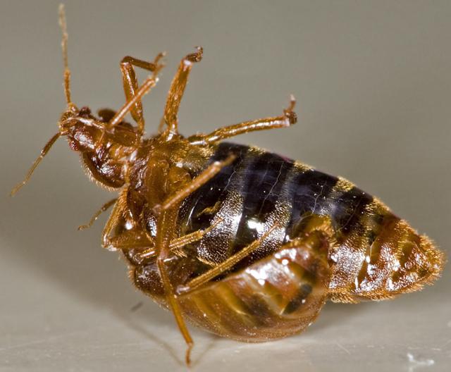 Bug , 4 Pictures Of Mating Bedbug : Mating Bedbug Pic 2