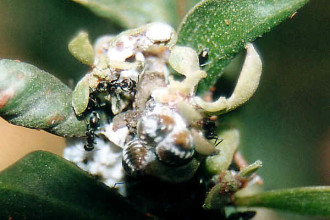 Mealybugs Facts Pictures 3 , 7 Mealybugs Facts Pictures In Bug Category