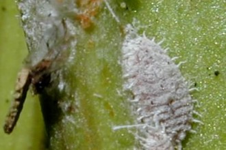 Mealybugs Facts Pictures 4 , 7 Mealybugs Facts Pictures In Bug Category