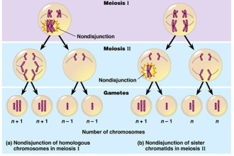 meiosis stages animation in Cat