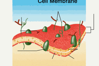 membrane cell structures  in Butterfly
