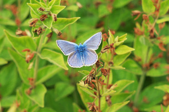Miami Blue Butterfly Facts Pic 1 , 6 Miami Blue Butterfly Facts In Butterfly Category