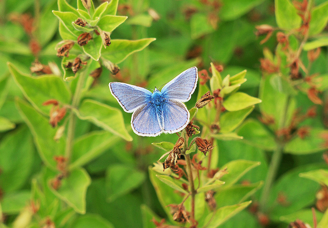 Butterfly , 6 Miami Blue Butterfly Facts : Miami Blue Butterfly Facts Pic 1