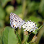 miami blue butterfly facts pic 2 , 6 Miami Blue Butterfly Facts In Butterfly Category