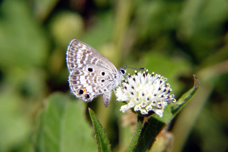 miami blue butterfly facts pic 2 in Skeleton