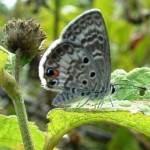 miami blue butterfly facts pic 3 , 6 Miami Blue Butterfly Facts In Butterfly Category