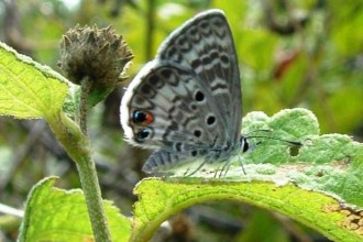 miami blue butterfly facts pic 3 in Skeleton