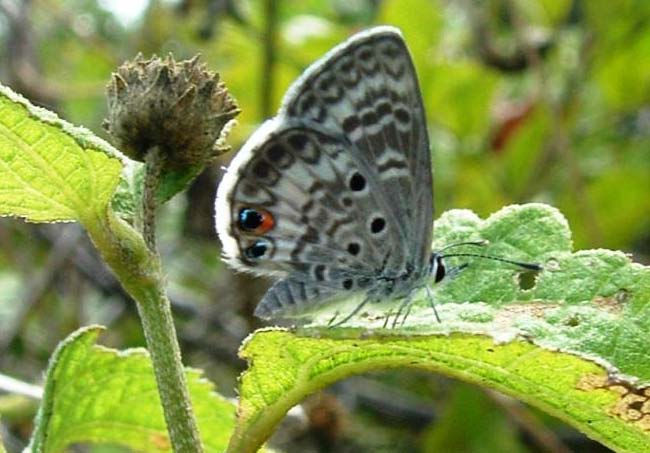 Butterfly , 6 Miami Blue Butterfly Facts : Miami Blue Butterfly Facts Pic 3