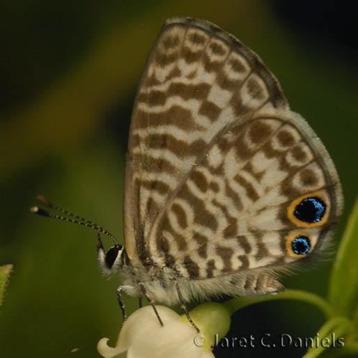 Butterfly , 6 Miami Blue Butterfly Facts : Miami Blue Butterfly Facts Pic 4
