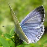 miami blue butterfly facts pic 5 , 6 Miami Blue Butterfly Facts In Butterfly Category