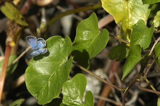 Miami Blue Butterfly Facts Pic 6 , 6 Miami Blue Butterfly Facts In Butterfly Category