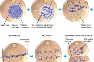 mitosis phases of cell division in Butterfly