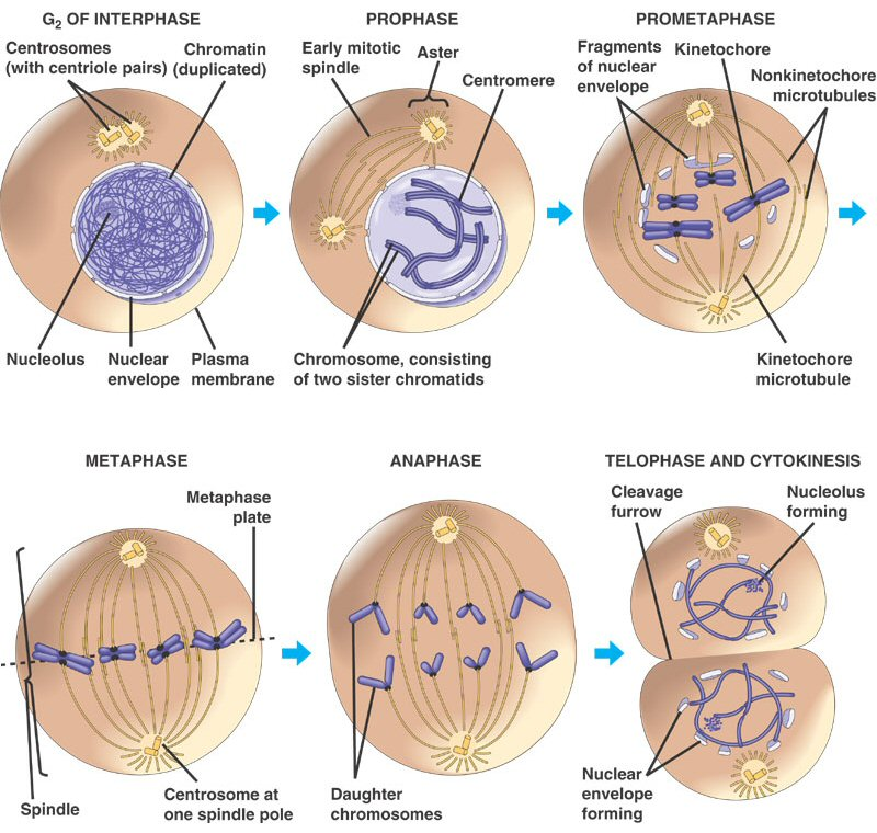 mitosis phases of cell division