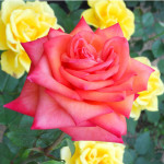 modern hybrid tea rose , 7 Modern Hybrid Tea Roses Photos In Plants Category