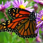 monarch butterflies eat , 7 What Does Monarch Butterfly Eat In Butterfly Category