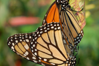 Monarch Butterflies Mating Photo , 9 Monarch Butterfly Mating Photos In Butterfly Category