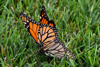 Monarch Butterfly Breeding , 9 Monarch Butterfly Mating Photos In Butterfly Category