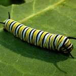 monarch butterfly caterpillar , 8 Monarch Butterfly Caterpillar In Butterfly Category
