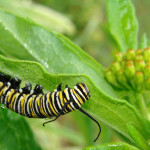 monarch butterfly caterpillar 2 , 8 Monarch Butterfly Caterpillar In Butterfly Category