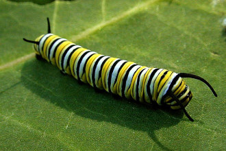 monarch butterfly caterpillar in Cell