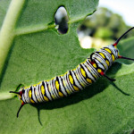 monarch butterfly caterpillar and foodplant , 8 Monarch Butterfly Caterpillar In Butterfly Category