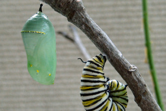 Monarch Butterfly Caterpillar And Pupa , 8 Monarch Butterfly Caterpillar In Butterfly Category