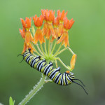 monarch butterfly caterpillar picture , 8 Monarch Butterfly Caterpillar In Butterfly Category