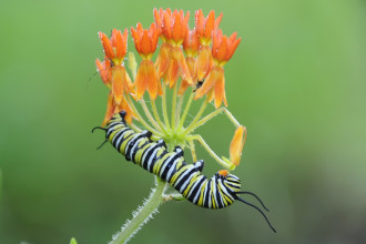 monarch butterfly caterpillar picture in