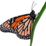 monarch butterfly clipart picture , 10 Monarch Butterfly Clip Art In Butterfly Category